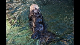 Rescued Sea Otter Pup Hardy Meets Tanu