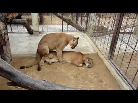 León De Apareamiento - Cría De León - El Apareamiento De Los Animales