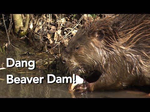 Beaver Dam Destruction