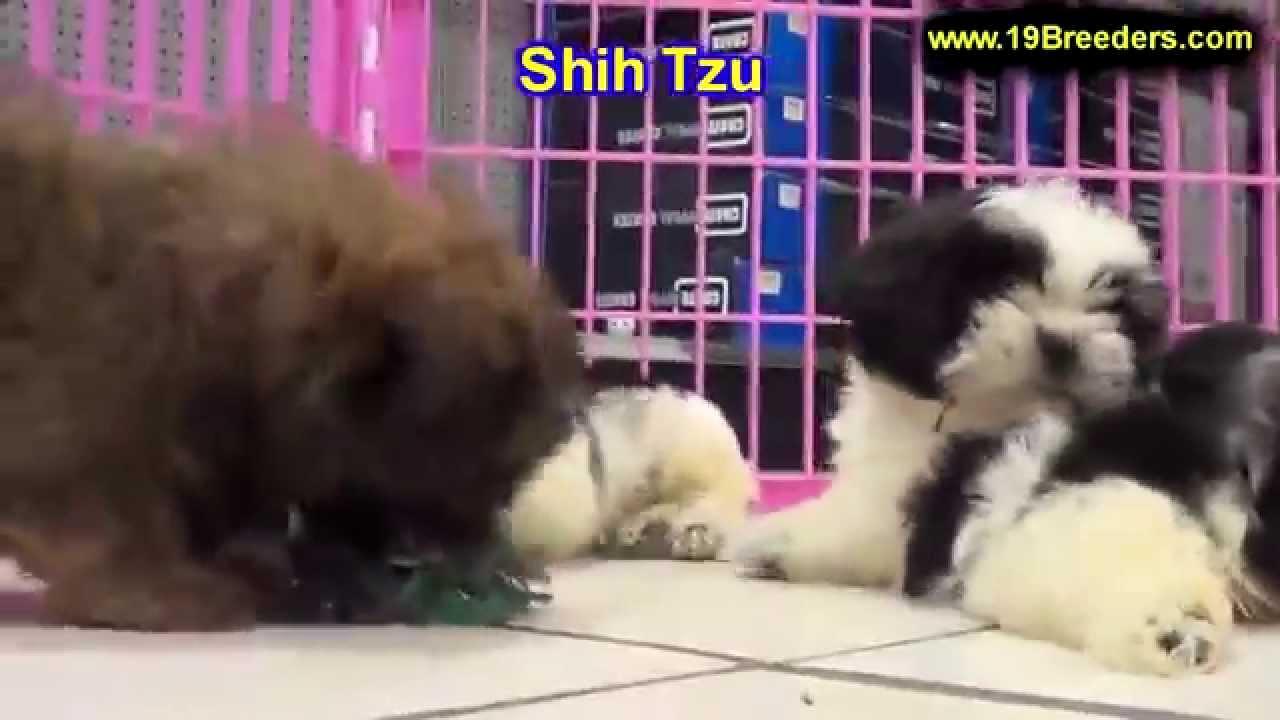 Shih Tzu Puppies For Sale In Allegheny Pennsylvania Pa Bucks