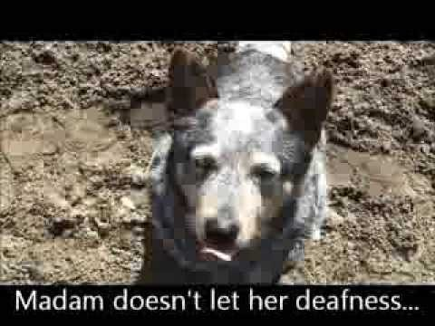 ADOPTED! Madam 6 year old Australian Cattle Dog x