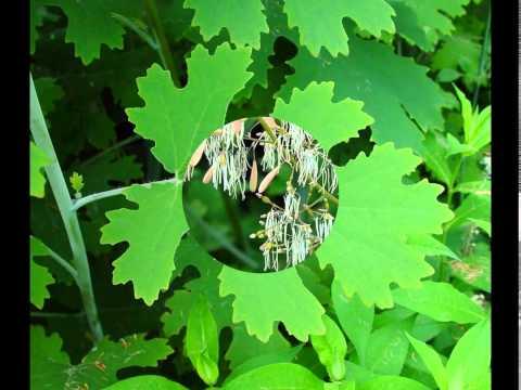 Цветок мак: описание растения -