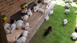Hodowla królików/ Maluchy na wybiegu
