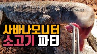 [#파충류]-#사바나모니터_소고기 대 환장파티(Beef…