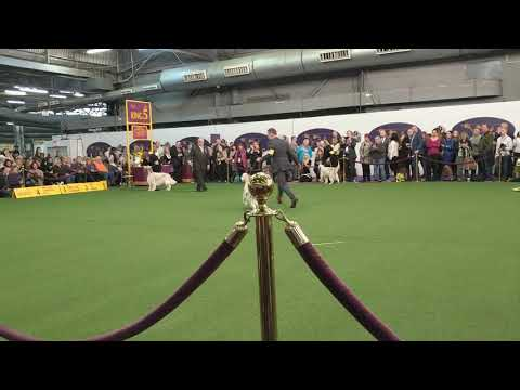 English Setter 'Penny' Down and Back in Breed at Westminster 2019