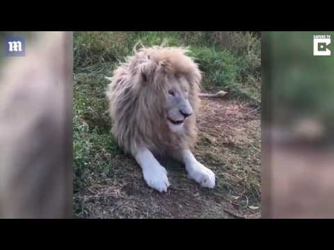 King of the jungle lion poses for the camera in South Africa