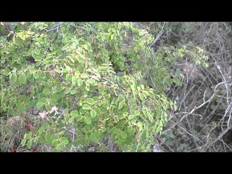 Rare Endangered Hawaiian Kalaleoa Akoko Plants - Chamaesyce skottsbergii var. kalaeloana