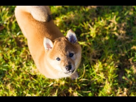 Shiba Puppy Training - Day 1