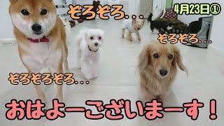 ティッピーくん『おはよーございまーす!』 柴犬 小梅ちゃん トイマンチ...