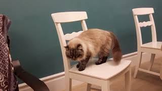 Кошки невские маскарадные все пристроены