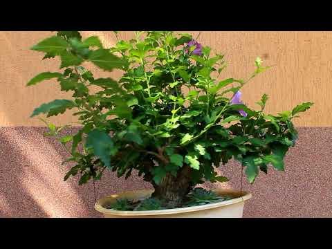 Bonsai rose of Sharon  - The flowering yamadori (Mályvacserje bonsai)