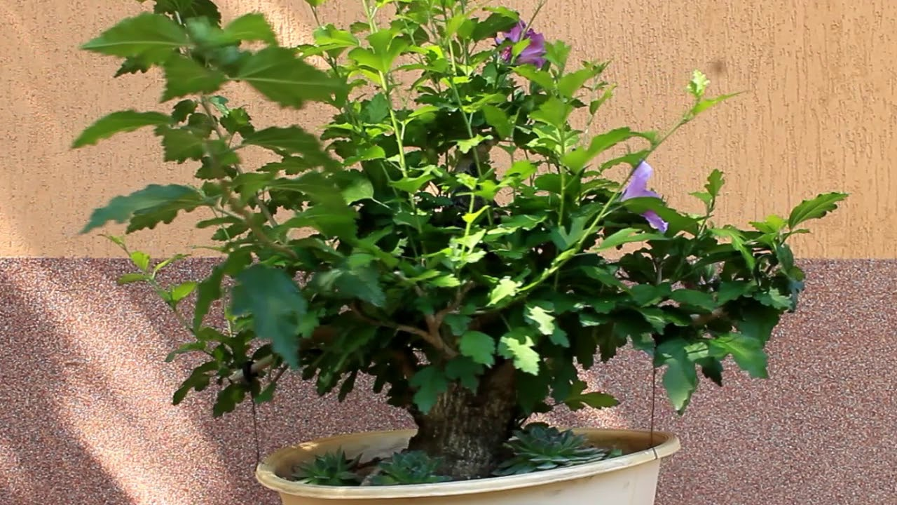 Bonsai rose of Sharon - The flowering yamadori (Mályvacserje bonsai ...