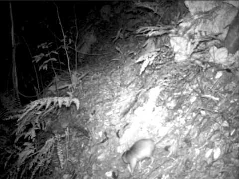 Solenodon: a venomous mammal rediscovered! /  Solenodonte filmado por cámara trampa