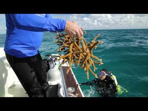 Dive to Transplant Ocean Coral