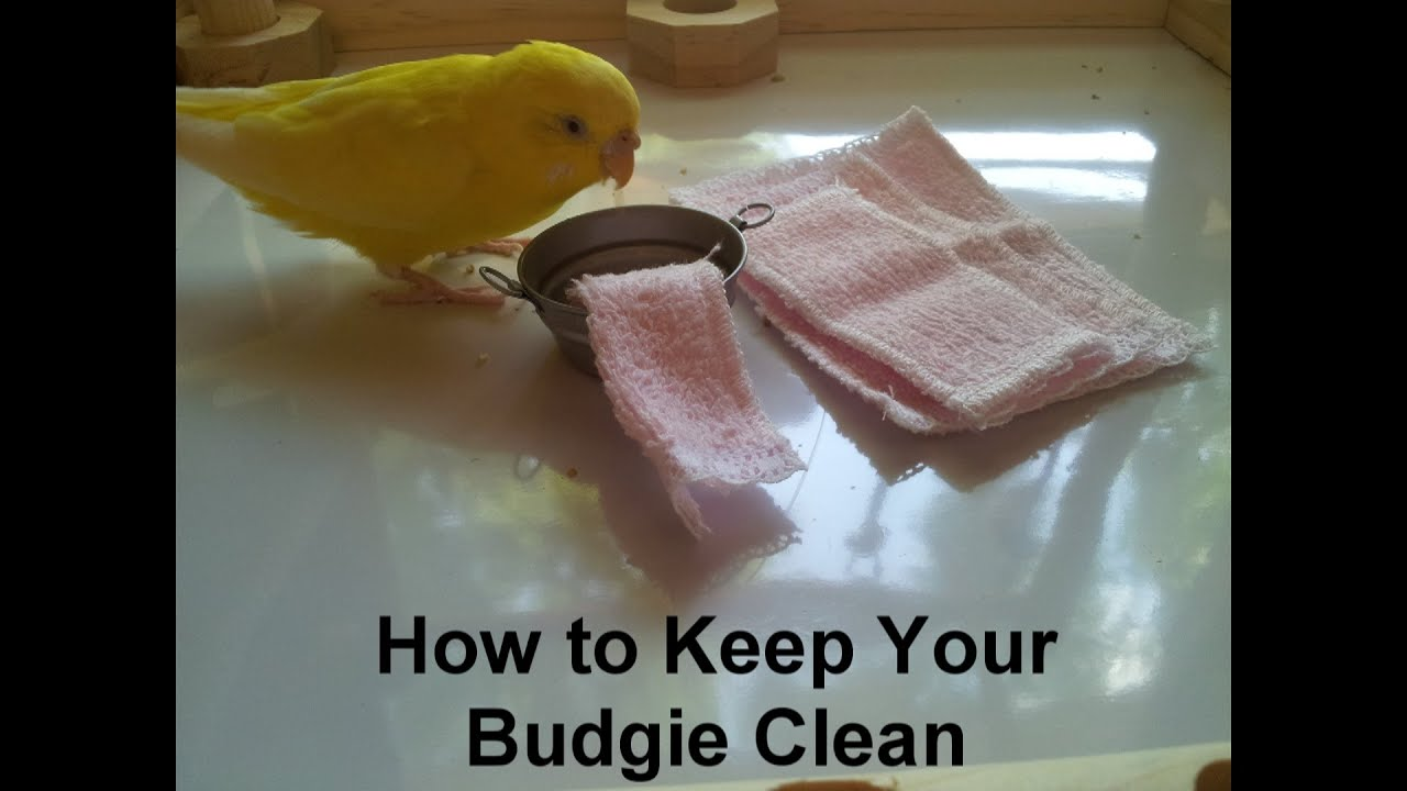 How to Keep Your Budgie Clean
