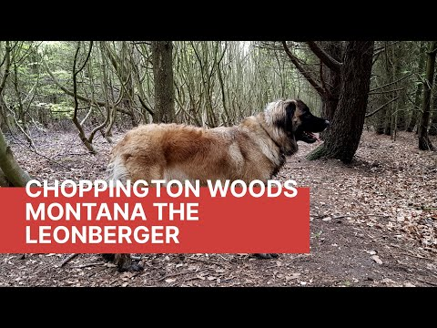 My dogs Northumberland walks, choppington woods #animals #dog #leonberger