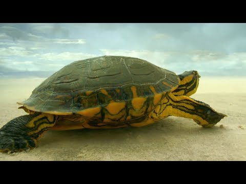Turtle Travels Through Desert  Earth From Space  BBC Earth