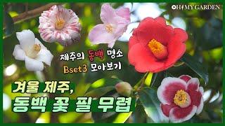[정원의 발견] 동백 꽃 필 무렵 the bloom of camellia | KBS제주 20210108 방송