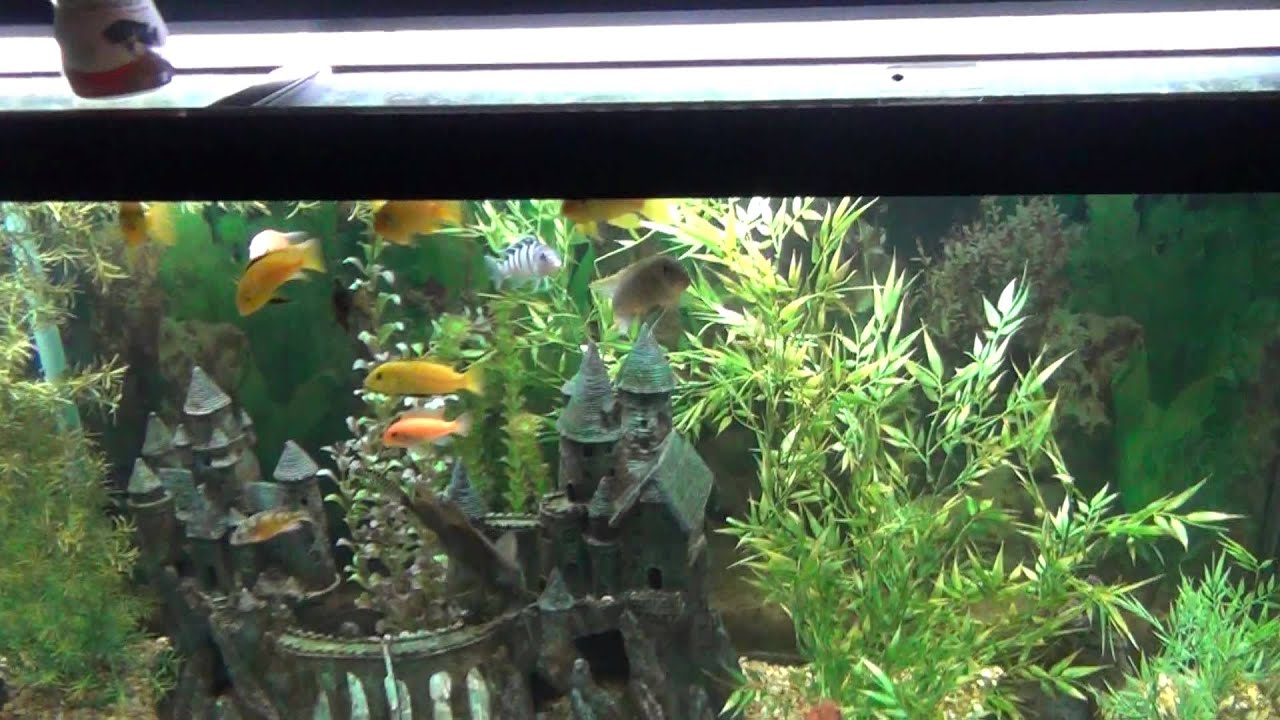 Cichlid 120 gallon fish tank aquarium youtube for Youtube fish tank