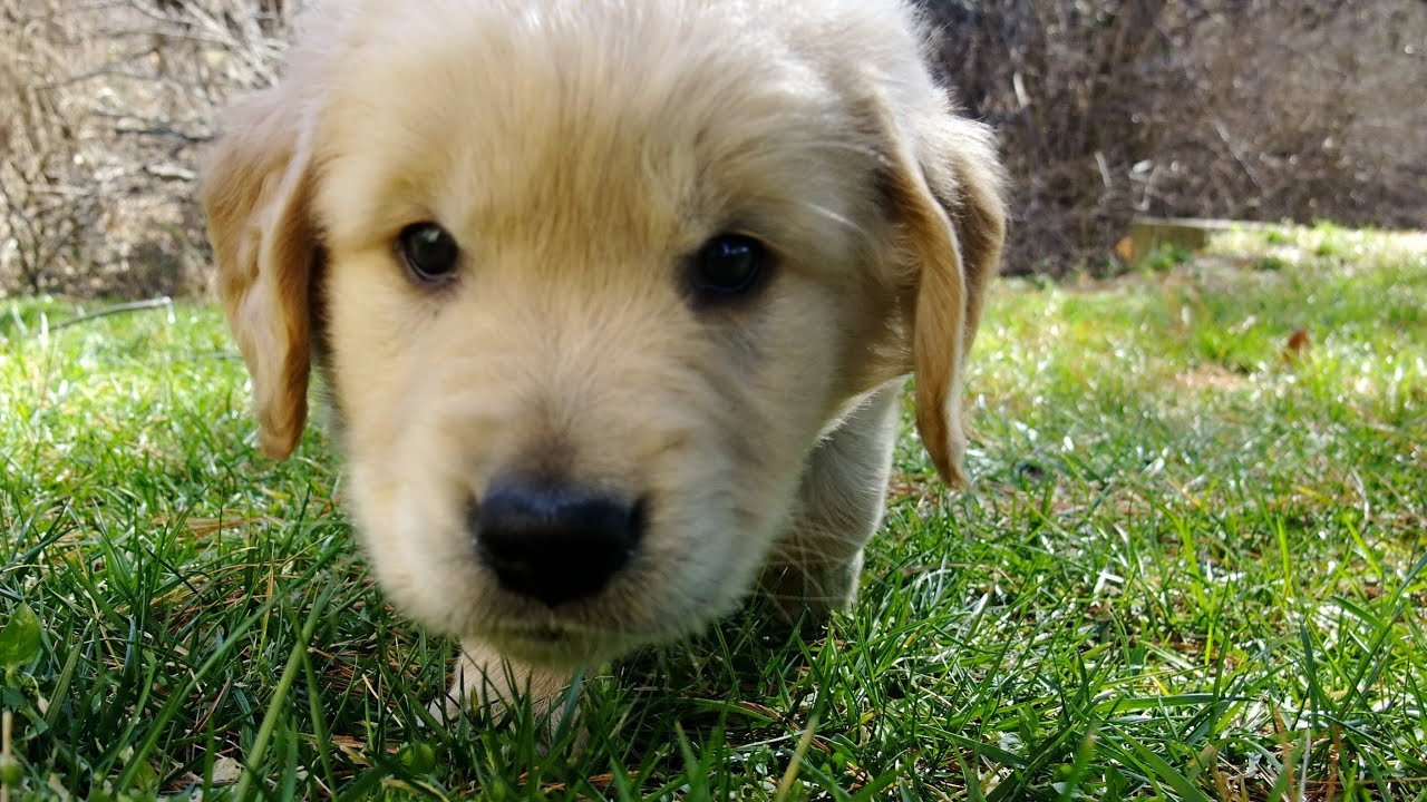 Cute Puppies Wallpapers With Quotes Cutest Golden Retriever Puppy Ever Tries First Creek Leap