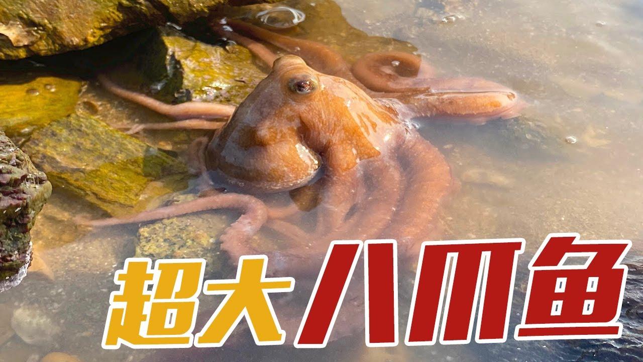 【English sub】小章赶海,沙滩上很多大海螺和八爪鱼。还收获一条超大猛货【赶海小章】
