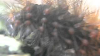Oruga de Lepidoptera en áreas verdes del CBTis165