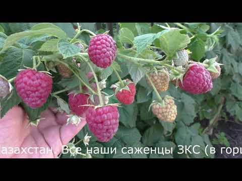 Полесье, ранний ремонтантный сорт малины с крупной ягодой