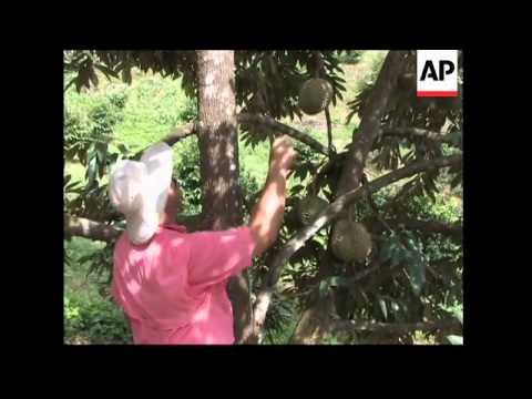Exotic Fruit Grown In Puerto Rico Youtube