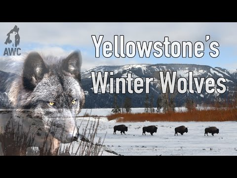 Yellowstone's Winter Wolves | AWC Episode 2