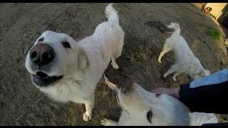 Big Farm Dogs Happy to See Friend :D Slovakian shepherd dogs