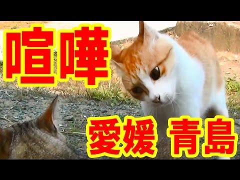 間近で猫のケンカが始まる!愛媛の猫島(青島)