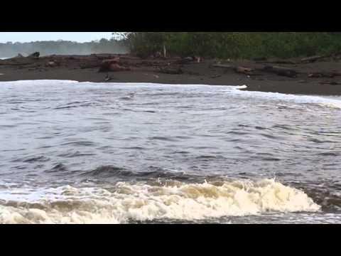 Bullsharks Sirena River Costa Rica