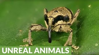 Cute little weevil in Ecuadorian rainforest grooms itself