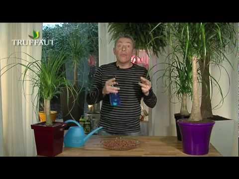 Tout sur le beaucarnea ou pied d 39 l phant jardinerie truffaut tv youtube - Plante verte appelee pied d elephant ...