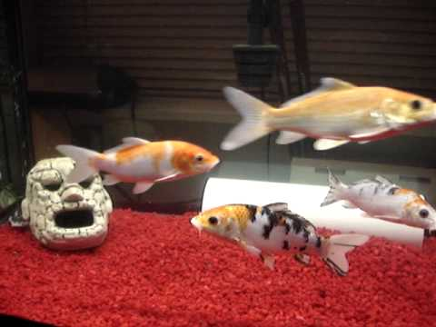 Dustin 39 s 120 gallon koi tank youtube for 10 gallon koi tank