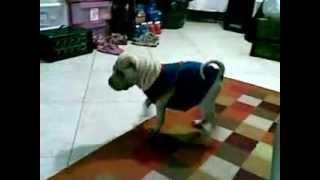 Shar Pei Contra Chihuahua