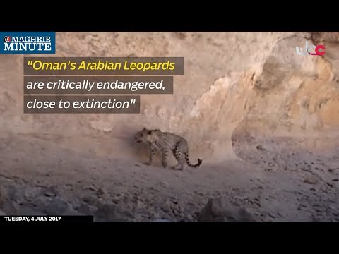 """Oman's Arabian Leopards are critically endangered, close to extinction"""