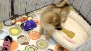 Timelapse Video Of Pomeranian And Japanese Chin At Charm City Puppies 9/11/12