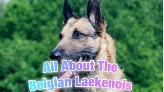 Belgian Laekenois | Facts You Didn't Know!