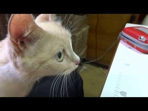 цейлонская кошка. кошка-милка