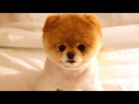 Funny Siberian Husky Wallpaper Youtube