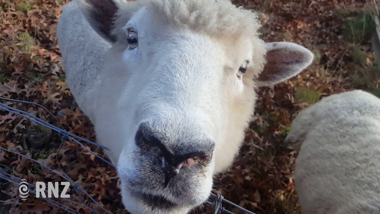 Busby takes the feijoa for New Zealand's oldest sheep