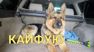 Собака кайфует в машине)