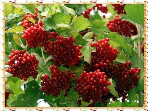 фото ягоды калины
