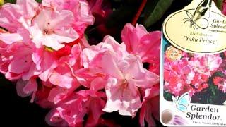 Best Garden Shrubs, Rhododendron Yaku Prince