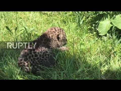 Super cute newborn Amur leopard cub still learning the ropes at Crimean safari park