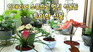 특이식물/ 고사리과 식물 같지않은 고사리식물/화려한 잎…