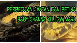 Channa Betina Herunterladen