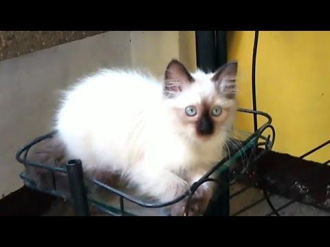 "My new pet ""ragdoll cat"", a half himalayan half persian cat."