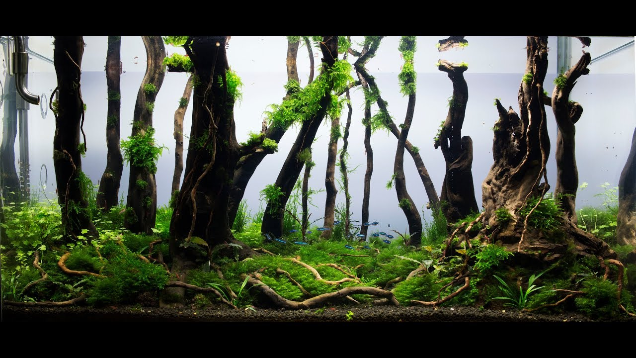 Beautiful Aquascape Nature Aquarium   Aquascaping   Forest Day 115